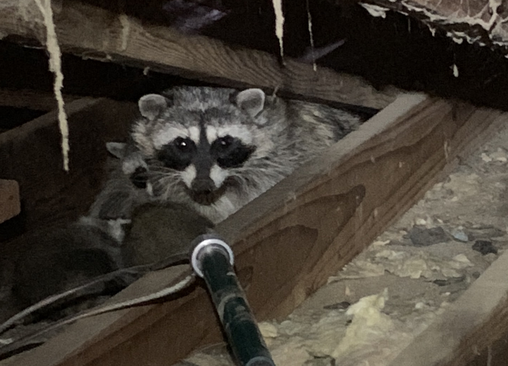 Removing raccoons from a barn with a noose pole